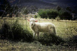 Cordero en un prado junto a una verja